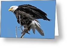 Bald Eagle On Cottonwood Tree Branches Greeting Card