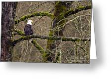 Bald Eagle On Mossy Branch Greeting Card