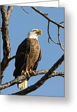 Bald Eagle On Pine Island Greeting Card