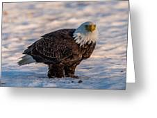 Bald Eagle Over Its Prey Greeting Card