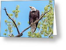 Bald Eagle Warning Greeting Card