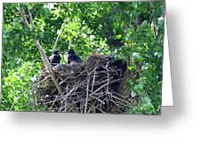 Bald Eaglet's 5 Wks 2 Greeting Card