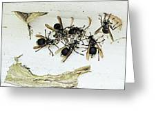 Bald Faced Hornets Greeting Card