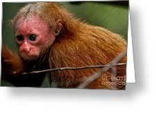 Bald Uakari Monkey Greeting Card