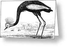 Balearic Crane Greeting Card