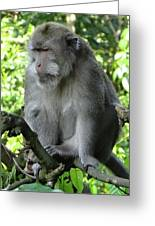 Balinese Monkey In Tree Greeting Card