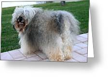 ball of fur Havanese dog Greeting Card