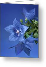 Balloon Flowers - Blooms And Buds Greeting Card