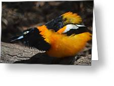Baltimore  Oriole 2 Greeting Card