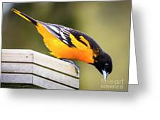 Baltimore Oriole About To Jump Greeting Card