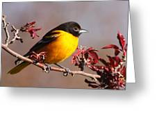 Baltimore Oriole In Crabapple Greeting Card