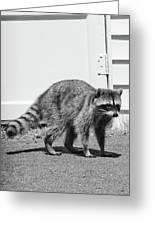 Bandit In Broad Daylight Greeting Card
