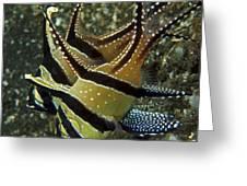 Banggai Cardinalfish With Egg, North Greeting Card