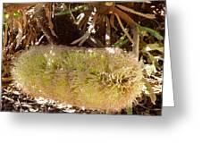 Banksia Baueri Greeting Card