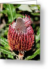 Banksia In Red Greeting Card