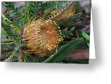 Banksia Nivea - 2 Greeting Card