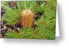 Banksia Spinulosa Greeting Card