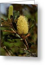 Banksia Syd01 Greeting Card