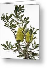 Banksia Syd02 Greeting Card