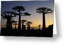 Baobab Forest At Sunset Greeting Card