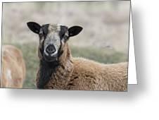 Barbados Blackbelly Sheep Portrait Greeting Card