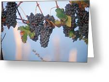 Barbera Grapes Ready For Harvest South Greeting Card
