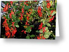 Barberries Greeting Card