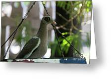 Bare Eyed Pigeon Greeting Card