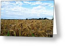 Barley And Sky In Oulu, Finland. Greeting Card
