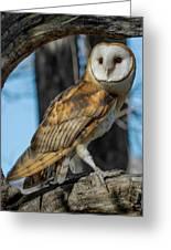 Barn Owl Framed In Cottonwood Greeting Card