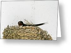 Barn Swallow Nesting Greeting Card by Douglas Barnett