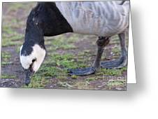 Barnacle Goose Greeting Card
