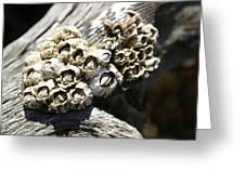 Barnicles And Wood Greeting Card