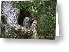 Barred Owlet Greeting Card