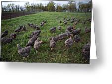 Barred Plymouth Rock Chickens Free Greeting Card