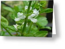 Basil Blossom Greeting Card
