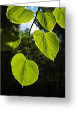 Basswood Leaves Against Dark Forest Background Greeting Card