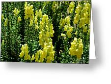 Batch Of Yellow Snapdragons Greeting Card
