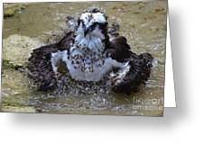 Bathing Osprey In Shallow Water Greeting Card