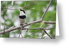 Batis Bird Greeting Card