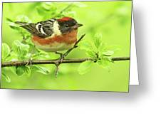 Bay-breasted Warbler Greeting Card