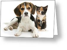 Beagle And Calico Cat Greeting Card