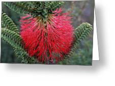 Beaufortia A Greeting Card