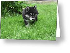 Beautiful Alusky Puppy Dog Walking Through Thick Green Grass Greeting Card