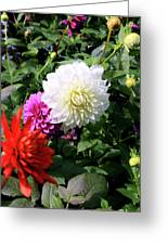 Beautiful And Fresh Dahlias In The Butchrt  Gardens,vancouver Island 1. Greeting Card