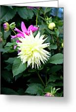 Beautiful And Fresh Dahlias In The Butchrt  Gardens,vancouver Island 2. Greeting Card