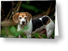beautiful Beagle Greeting Card