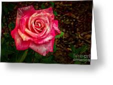Beautiful Bicolor Rose Greeting Card