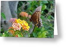 Beautiful Black Swallowtail Butterfly Greeting Card