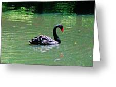 Beautiful Black Swan  Greeting Card